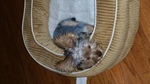 Chorkie Puppy For Sale in ELGIN, SC,