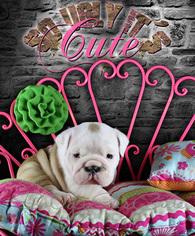 English Bulldogge Puppy For Sale in HOUSTON, TX, USA