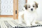 Boots Male Mal Shi Puppy