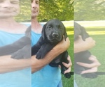 Labrador Retriever Puppy For Sale in PR DU CHIEN, WI, USA