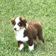 Australian Shepherd Puppy For Sale in MONROE, GA, USA