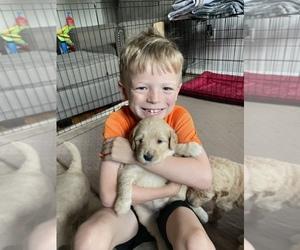 Goldendoodle Dog for Adoption in AND, South Carolina USA