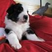 Australian Shepherd Puppy For Sale in BURLESON, TX,