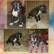 Boxer Puppy For Sale in ORONOGO, MO, USA