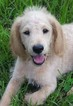 Labradoodle Puppy For Sale in ONALASKA, TX, USA