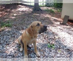 Medium Spanish Bulldog (Alano Español)