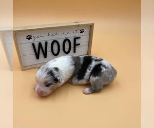 Australian Shepherd Dog for Adoption in PENDLETON, Oregon USA