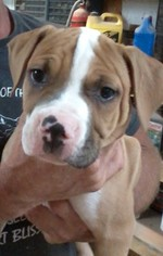 American Bulldog Puppy For Sale in OPELIKA, AL