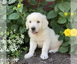 English Cream Golden Retriever Puppy for sale in MILLERSBURG, PA, USA