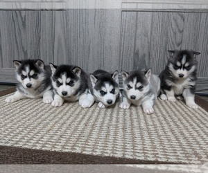 Siberian Husky Puppy for Sale in ARCOLA, Illinois USA