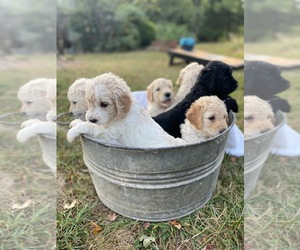 Goldendoodle Puppy for sale in LEXINGTON, NC, USA