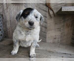 Border Collie Puppy for sale in ANN ARBOR, MI, USA