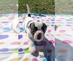 Small #3 American Bulldog