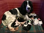 Russian Spaniel puppies for sale