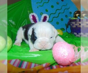 English Bulldog Puppy for sale in HAMILTON, OH, USA