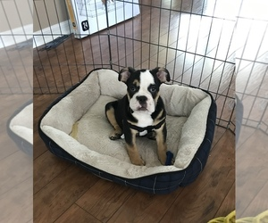 Bulldog Puppy for sale in FORT MYERS, FL, USA