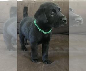 Labrador Retriever Puppy for Sale in MARYSVILLE, California USA