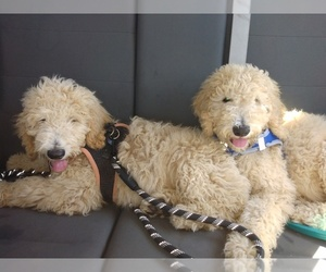 Poodle (Standard)-Unknown Mix Puppy for sale in CITRUS HEIGHTS, CA, USA