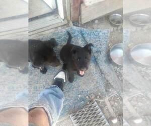 German Shepherd Dog Puppy for sale in TIMBERON, NM, USA