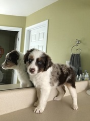 Australian Shepherd Puppy For Sale in LOGANVILLE, GA, USA