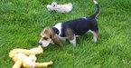 Basset Hound Puppy For Sale in MONROVIA, CA, USA