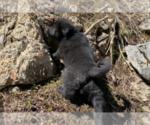 Puppy 8 Karelian Bear Dog