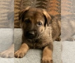 Small #35 German Shepherd Dog
