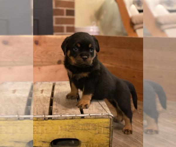 Medium Photo #5 Rottweiler Puppy For Sale in NAPA, CA, USA