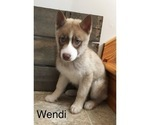 Small Photo #8 Siberian Husky Puppy For Sale in DEARBORN, MO, USA
