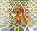 Adorable Cavapoo Puppy