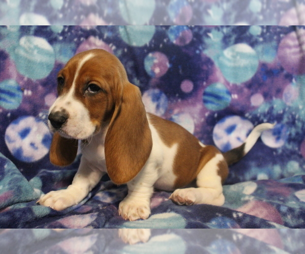Medium Photo #1 Basset Hound Puppy For Sale in JOICE, IA, USA