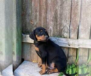 Doberman Pinscher Puppy for sale in ELLINGTON, CT, USA