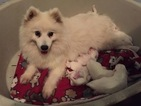 Japanese Spitz Puppy For Sale in SEBASTOPOL, CA, USA