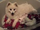 Japanese Spitz Puppy For Sale in SEBASTOPOL, CA, USA