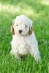 Cavapoo Puppy For Sale in PLYMOUTH, OH, USA