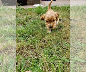 English Cocker Spaniel Puppy for Sale in TACOMA, Washington USA