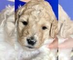 Puppy 5 Goldendoodle-Poodle (Standard) Mix