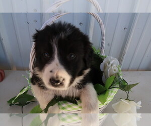 Border Collie Puppy for sale in GRAYLING, MI, USA