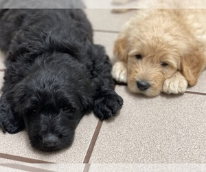 Labradoodle Puppy for Sale in CHANDLER, Oklahoma USA