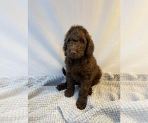 Labradoodle Puppy for sale in BENTON, LA, USA