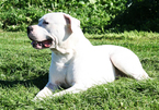 Dogo Argentino Puppy For Sale in BRUCE, Wisconsin,