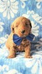 Goldendoodle Puppy For Sale near 17601, Lancaster, PA, USA