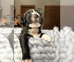 Puppy 4 American Bulldog-Golden Retriever Mix