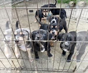 Medium Bluetick Coonhound-Bullmastiff Mix