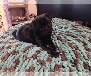 Pug Puppy for sale in BONAIRE, GA, USA