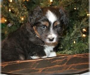 Miniature Australian Shepherd Puppy for Sale in JOPLIN, Missouri USA