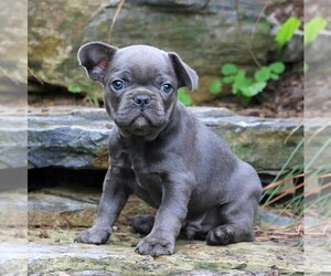 French Bulldog Puppy for sale in LEBANON, PA, USA