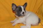 French Bulldog Puppy For Sale in LIBERTY, MO, USA