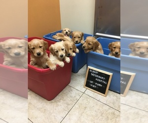 Golden Retriever Puppy for sale in MESA, AZ, USA