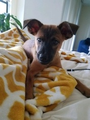 Jack Russell Terrier-Unknown Mix Dog For Adoption in FORT LAUDERDALE, FL, USA